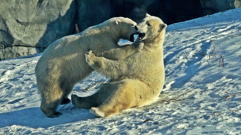 Winnipeg - Canada - Isbjørner