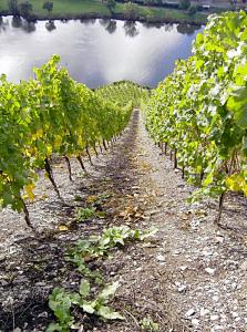Vinmarker i Rheinhessen (Kilde: Bacchus Touristic)