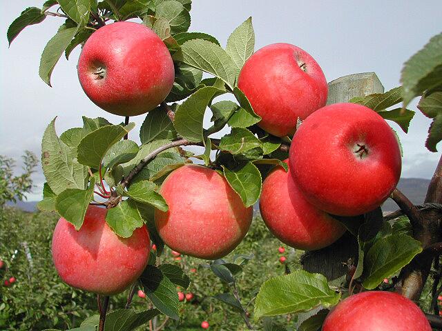 Aromaepler - Telemark - Norge - Frukt.no