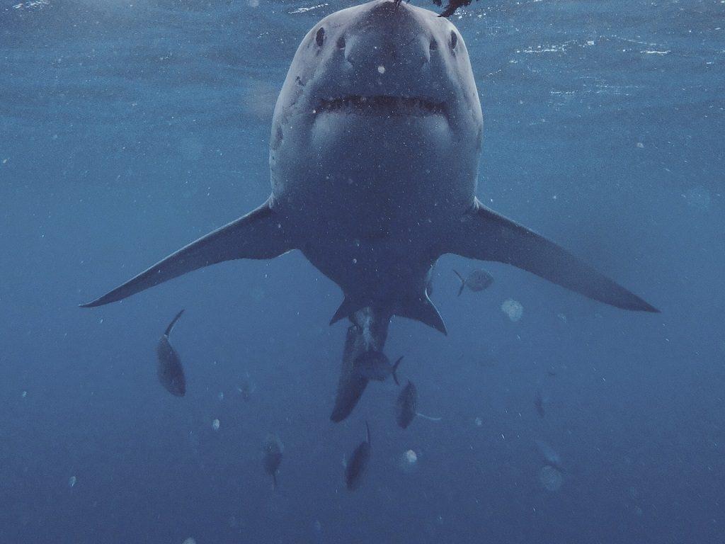 Hvithai - svømming - Australia - Australiareiser
