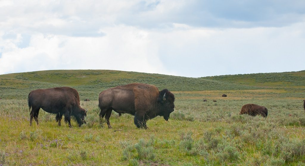 Bison - okser - Yellowstone National Park - Montana - USA