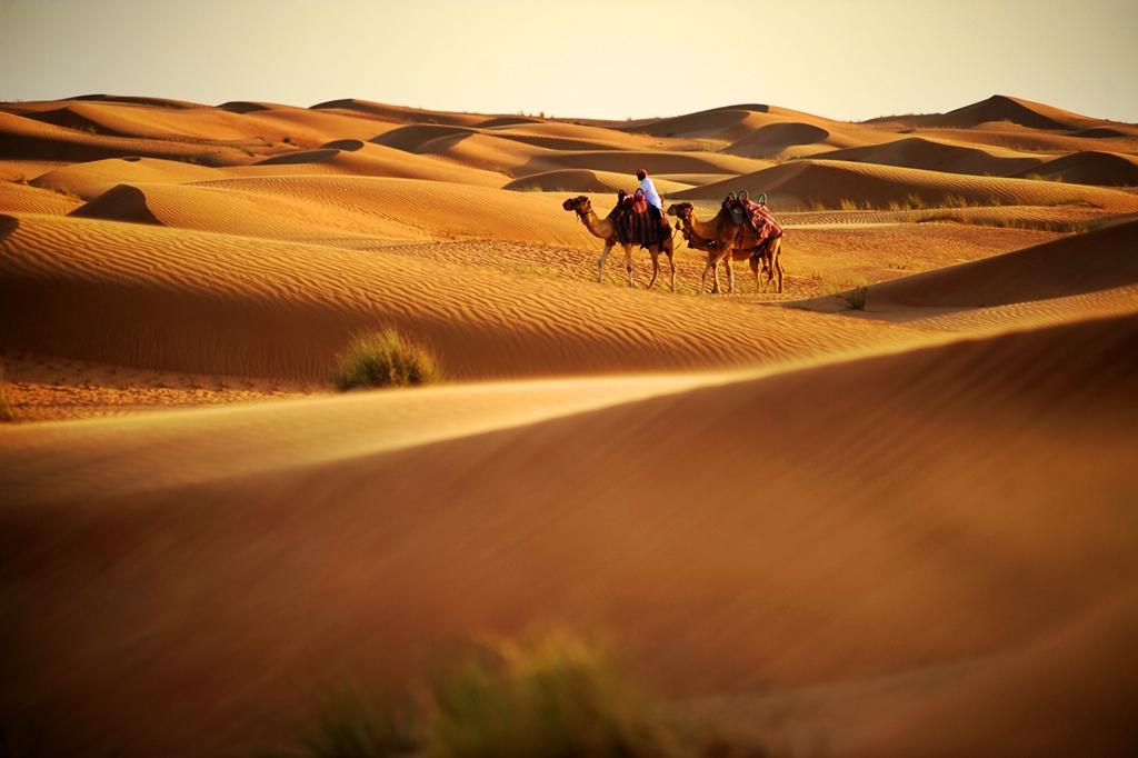 Kamelridning i Dubais ørken - Emiratene - UAE
