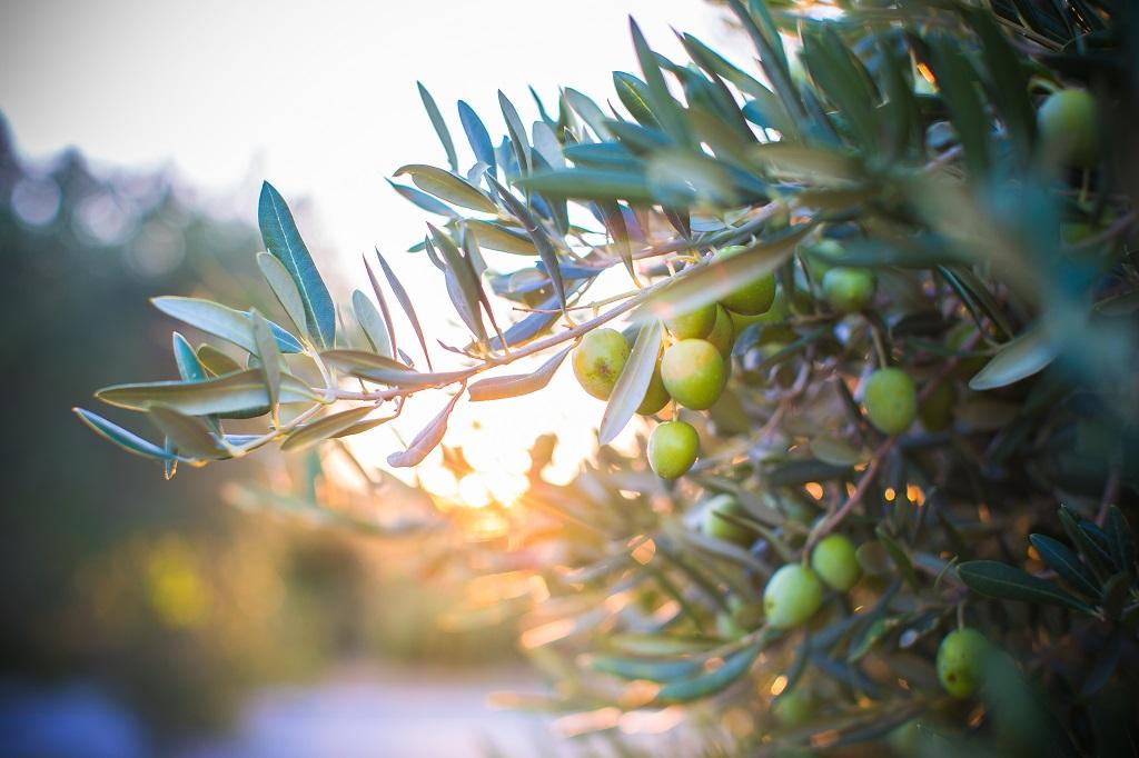 Oliven - Trær - Brac - Kroatia