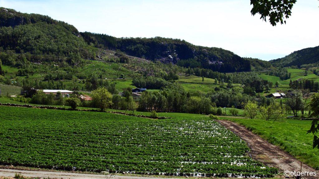Fister - Hjelmeland - Ryfylke - Jordbæråker