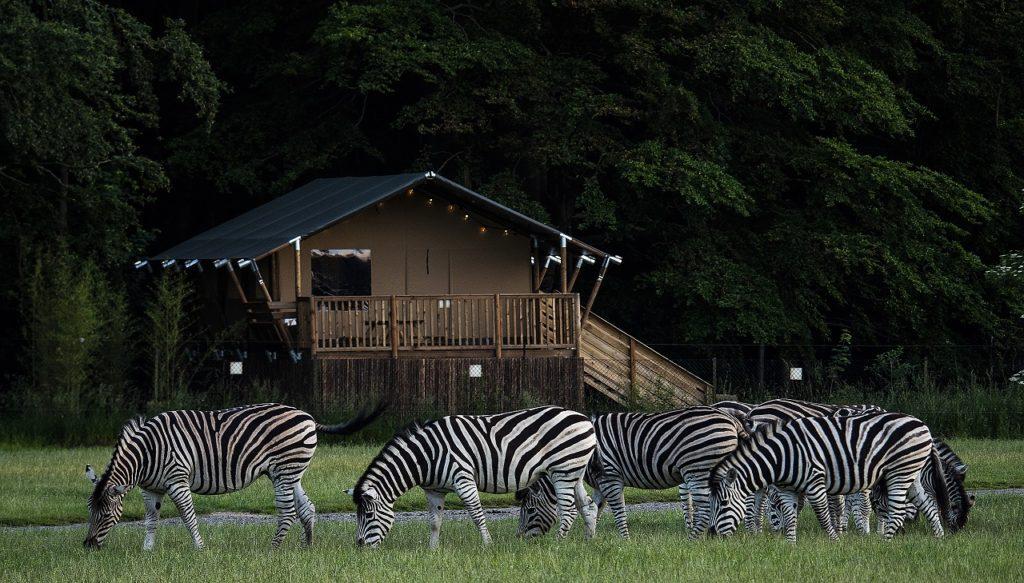 Knuthenborg Safaripark - Zebraer - Lolland - Danmark