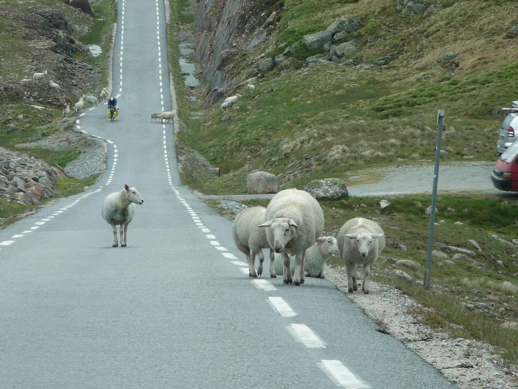 Sau - Vei - Sommerferie - bilkjøring - Gjensidige