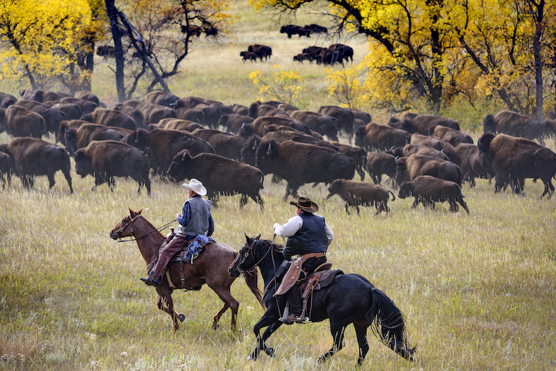 Bøfler - Sør-Dakota - The Great American West -USA