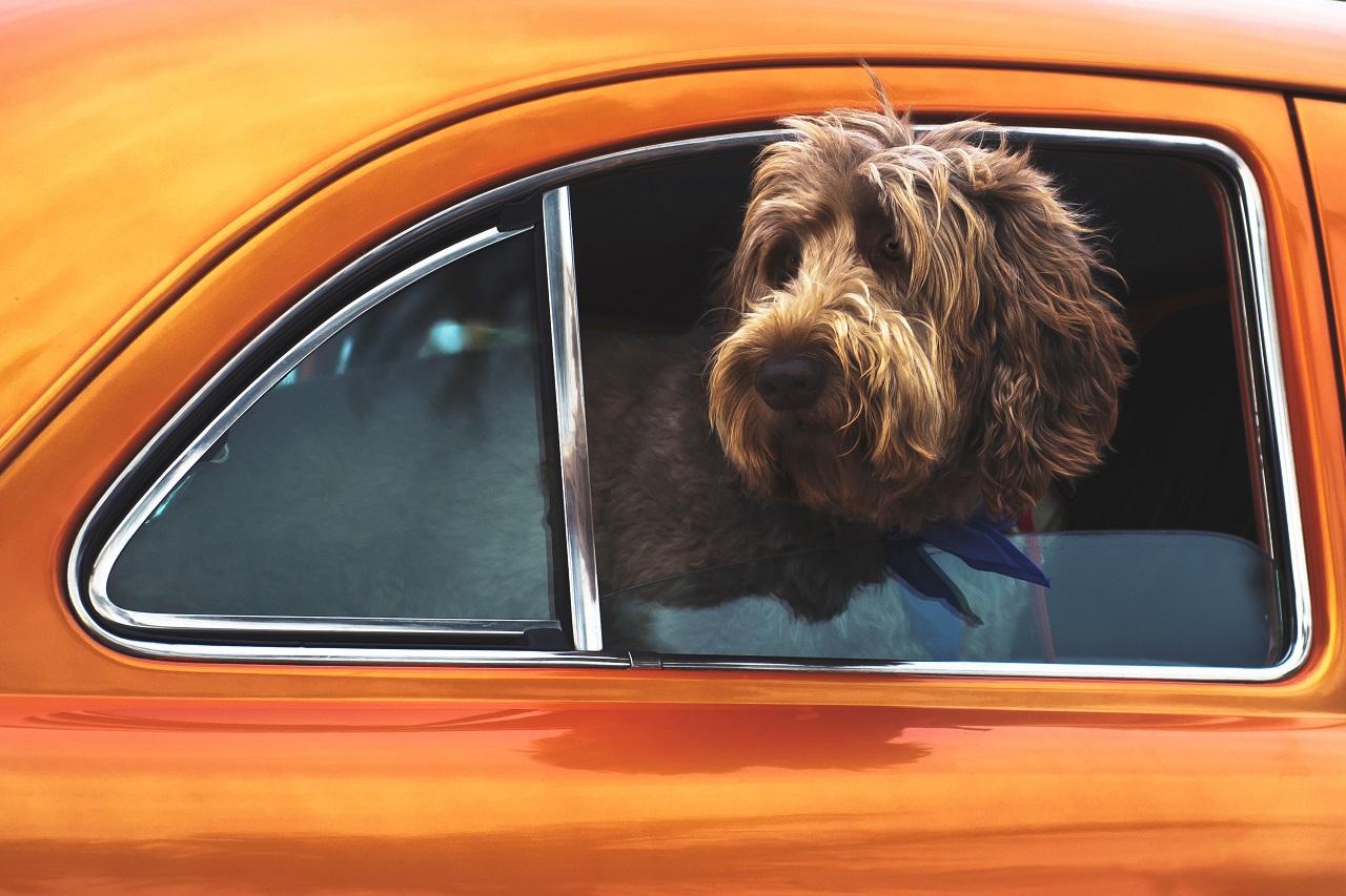 Hund - biltur - bilvindu - kjøretur - Agria - Dyreforsikring
