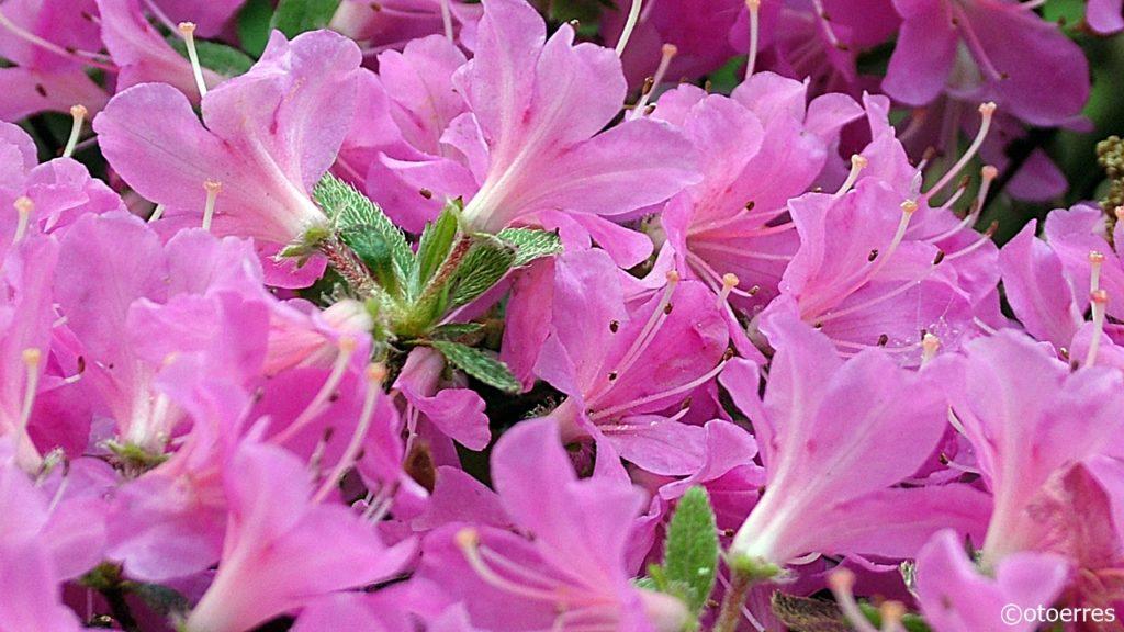 Rhododendronpark - Bremen - Tyskland