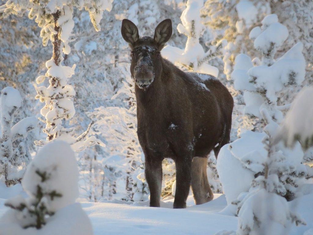 Elgku i vinterskog-  - Koppangskjølen  - Hedmark -  februar 2019