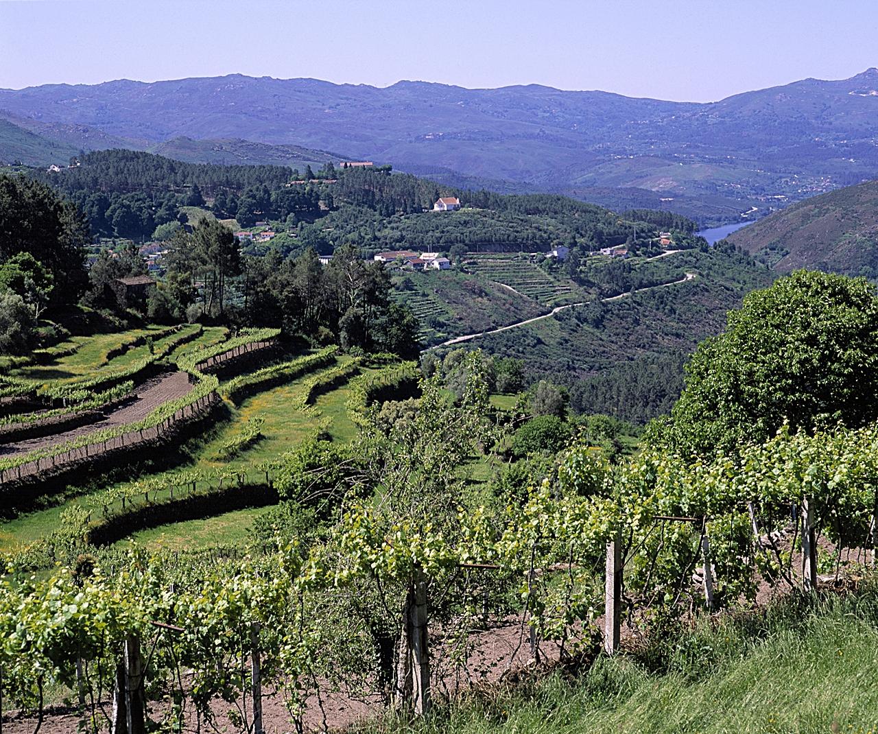 Vingårder - Soajo-regionen - Portugal