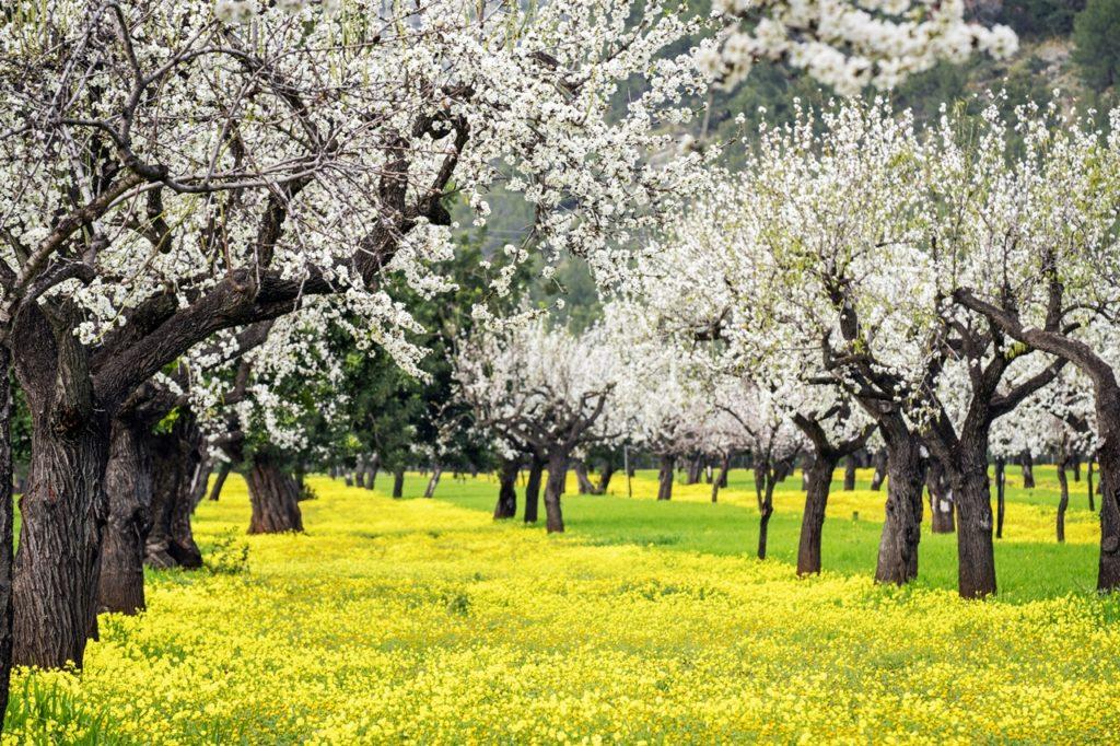 mandeltrær - blomstring - Son Maixella - Mallorca - Balearene - Spania